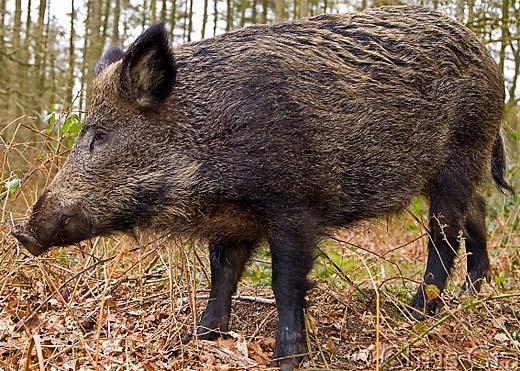 divlja svinja trihineloza