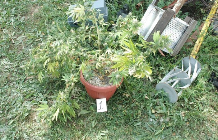 Ухапшен Ужичанин због узгоја марихуане