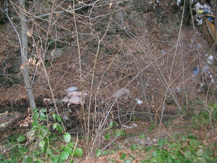 Четири мртве свиње бачене у поток